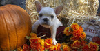 French Bulldog Puppy For Sale in GARNER, NC, USA