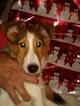 Small #6 Shetland Sheepdog