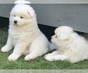 Samoyed Puppy for sale in WASILLA, AK, USA