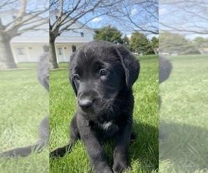 Bernese Mountain Dog Puppy for sale in SULLIVAN, IL, USA