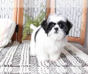 Shih Tzu Puppy for Sale in NAPLES, Florida USA