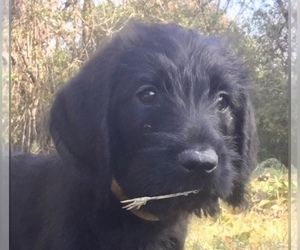 Labradoodle-Labrador Retriever Mix Puppy for Sale in EUDORA, Arkansas USA