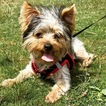 Yorkshire Terrier Puppy For Sale in KENT, WA, USA