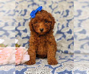 Goldendoodle-Poodle (Toy) Mix Puppy for sale in NOTTINGHAM, PA, USA