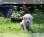 Small #3 Labrador Retriever-Sheepadoodle Mix