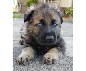 German Shepherd Dog Puppy for Sale in MOUNT DORA, Florida USA