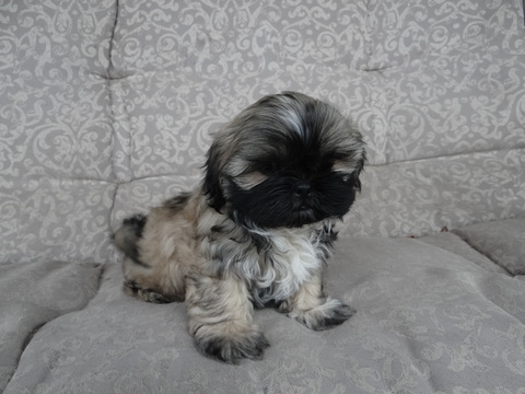 shih tzu breeders indiana view ad shih tzu puppy for sale indiana bloomington 1069