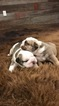 English Bulldogge Puppy For Sale in CLYDE, KS, USA