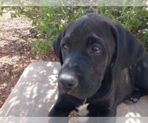 Boxador Puppy for sale in BELEN, NM, USA