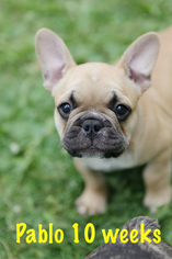 French Bulldog Puppy For Sale in MARINE ON SAINT CROIX, MN, USA