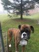 Boxer Puppy For Sale in DILLWYN, VA, USA