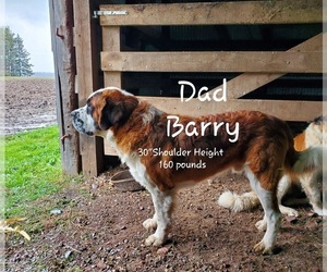 Father of the Saint Bernard puppies born on 09/04/2020