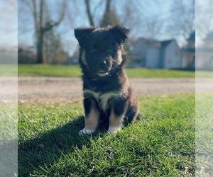 Australian Shepherd-Siberian Husky Mix Puppy for sale in WESTERVILLE, OH, USA