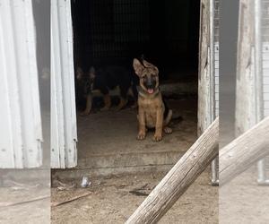 German Shepherd Dog Puppy for sale in MONEE, IL, USA