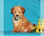 Small #2 Miniature Labradoodle