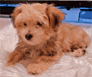 Maltese-Morkie Mix Puppy for sale in FORNEY, TX, USA