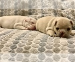 Small Photo #8 French Bulldog Puppy For Sale in LEAWOOD, KS, USA