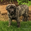 Mastiff Puppy For Sale in GAP, PA, USA