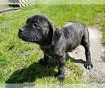 Small #25 Mastiff