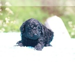 Small #10 Poodle (Standard)