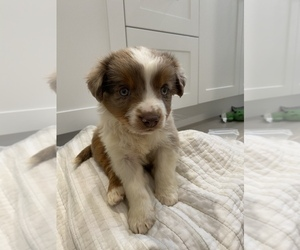 Australian Shepherd Puppy for Sale in IRVINE, California USA