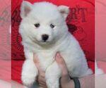 Small #3 Alaskan Klee Kai