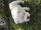 Bulldog Puppy For Sale in BURLINGTON, WI,