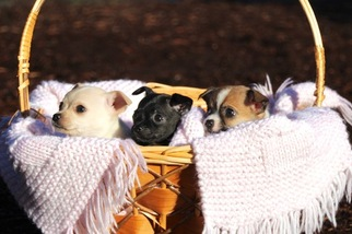 Chihuahua Puppy For Sale in SEQUIM, WA