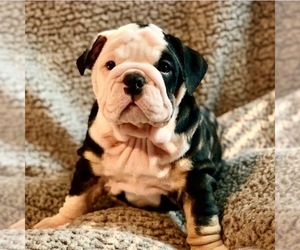 English Bulldogge Puppy for sale in HARRISON TOWNSHIP, MI, USA