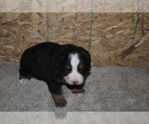 Bernese Mountain Dog Puppy for Sale in WESTCLIFFE, Colorado USA