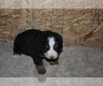 Puppy 1 Bernese Mountain Dog