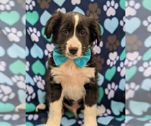 Cockapoo-Shetland Sheepdog Mix Puppy for sale in COCHRANVILLE, PA, USA