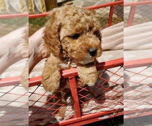 Goldendoodle-Poodle (Miniature) Mix Puppy for Sale in HOLLY SPRINGS, Georgia USA