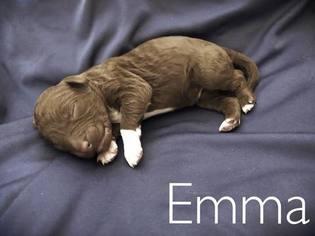 Aussie-Poo-Aussiedoodle Mix Puppy For Sale in MESA, AZ, USA