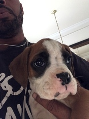 Boxer Puppy For Sale in MANASSAS, VA
