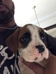 Boxer Puppy For Sale in MANASSAS, VA, USA