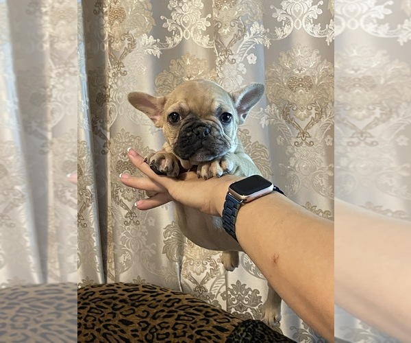 Medium Photo #6 French Bulldog Puppy For Sale in JACKSONVILLE, FL, USA