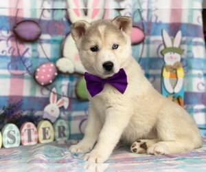 Labrador Retriever-Siberian Husky Mix Puppy for sale in LANCASTER, PA, USA