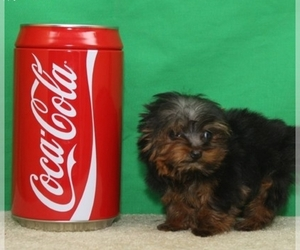 Yorkshire Terrier Puppy for Sale in SHAWNEE, Oklahoma USA