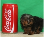Yorkshire Terrier Puppy For Sale in SHAWNEE, OK, USA
