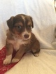 Miniature Australian Shepherd Puppy For Sale in TOPEKA, KS, USA