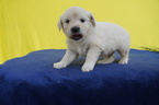 Golden Retriever Puppy For Sale in KENSINGTON, OH, USA