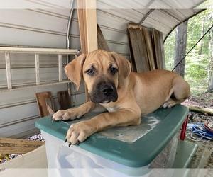 Spanish Bulldog (Alano Español) Puppy for sale in WOODRUFF, SC, USA