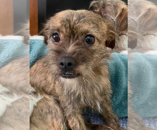 Medium Photo #1 Schweenie Puppy For Sale in MAHWAH, NJ, USA
