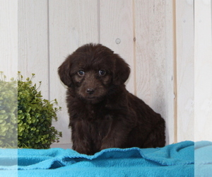 Labradoodle-Poodle (Standard) Mix Puppy for sale in COATESVILLE, PA, USA