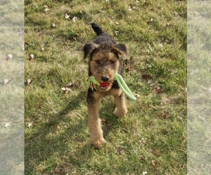 Airedale Terrier Puppy for Sale in LAMBERTVILLE, New Jersey USA