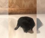 Puppy 2 Malinois