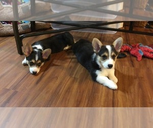Pembroke Welsh Corgi Puppy for sale in BRUNSWICK, MI, USA