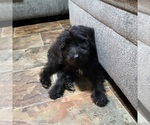 Small Schnoodle (Giant)
