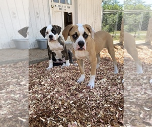 American Bulldog Puppy for Sale in WALTERBORO, South Carolina USA